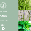 3 outdoor plants to keep the flies away